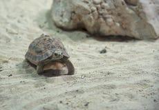 Χελώνα που περπατά στην κινηματογράφηση σε πρώτο πλάνο άμμου Στοκ φωτογραφία με δικαίωμα ελεύθερης χρήσης