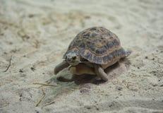 Χελώνα που περπατά στην κινηματογράφηση σε πρώτο πλάνο άμμου Στοκ εικόνα με δικαίωμα ελεύθερης χρήσης