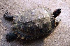 Χελώνα που περπατά στο έδαφος Στοκ Εικόνες