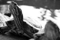 Χελώνα που περπατά στο έδαφος Στοκ Εικόνα