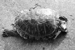 Χελώνα που περπατά στο έδαφος Στοκ φωτογραφίες με δικαίωμα ελεύθερης χρήσης