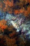 Χελώνα πράσινης θάλασσας, νησί Sipadan, Sabah Στοκ Φωτογραφίες