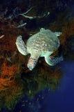 Χελώνα πράσινης θάλασσας, νησί Sipadan, Sabah Στοκ φωτογραφίες με δικαίωμα ελεύθερης χρήσης