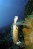 Χελώνα πράσινης θάλασσας, νησί Sipadan, Sabah Στοκ Φωτογραφία