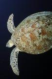 Χελώνα πράσινης θάλασσας, νησί Sipadan, Sabah Στοκ Εικόνες