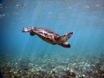 Χελώνα πράσινης θάλασσας που αναστέλλεται στο μπλε Στοκ Εικόνες