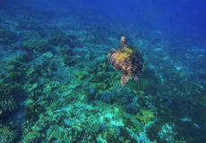 Χελώνα πράσινης θάλασσας που βουτά στην κοραλλιογενή ύφαλο Στοκ εικόνες με δικαίωμα ελεύθερης χρήσης