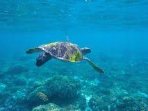 Χελώνα πράσινης θάλασσας που επιδιώκει για τα τρόφιμα στο μπλε νερό ακτών Στοκ εικόνες με δικαίωμα ελεύθερης χρήσης
