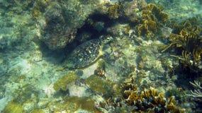 Χελώνα πράσινης θάλασσας που κρύβεται σε μια κοραλλιογενή ύφαλο Στοκ Εικόνες