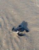 χελώνα πράσινης θάλασσας & Στοκ Φωτογραφίες