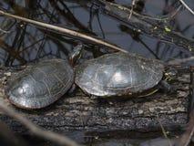 Χελώνα σε ένα έλος Στοκ φωτογραφία με δικαίωμα ελεύθερης χρήσης