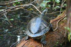 Χελώνα σε ένα κούτσουρο Στοκ εικόνες με δικαίωμα ελεύθερης χρήσης