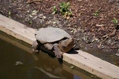 Χελώνα στην άκρη Στοκ εικόνες με δικαίωμα ελεύθερης χρήσης