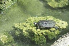 Χελώνα στην πέτρα Στοκ Εικόνες