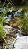 Χελώνα στη λίμνη Στοκ Εικόνες