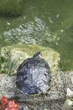 Χελώνα στη φύση Στοκ Φωτογραφία