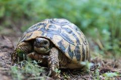Χελώνα στη χλόη Στοκ εικόνα με δικαίωμα ελεύθερης χρήσης