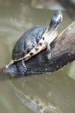 Χελώνα στον κλάδο Στοκ φωτογραφία με δικαίωμα ελεύθερης χρήσης