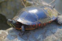 Χελώνα στο βράχο Στοκ φωτογραφίες με δικαίωμα ελεύθερης χρήσης