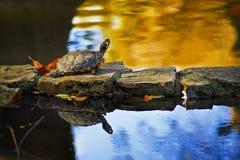 Χελώνα στο βράχο Στοκ Εικόνα