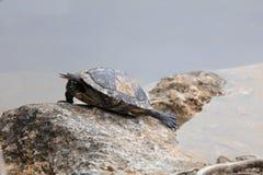 Χελώνα στο μπλε καταφύγιο ελαφιών τρυπών εθνικό βασικό, μεγάλο πεύκο Key West Στοκ φωτογραφίες με δικαίωμα ελεύθερης χρήσης