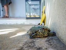 Χελώνα στο τσιμεντένιο πάτωμα Στοκ εικόνα με δικαίωμα ελεύθερης χρήσης