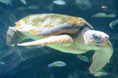 χελώνα υποβρύχια Στοκ Εικόνες
