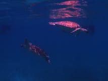 χελώνα δύο στοκ εικόνα με δικαίωμα ελεύθερης χρήσης