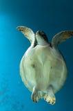 Χελώνα Στοκ Φωτογραφία