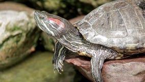 Χελώνα απόθεμα βίντεο