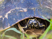 Χελώνα Armature Στοκ Εικόνα