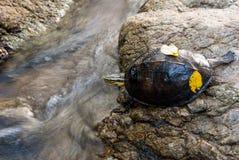 Χελώνα Basking Στοκ φωτογραφία με δικαίωμα ελεύθερης χρήσης