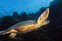 Χελώνα Hawksbill στοκ εικόνα