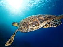 Χελώνα Hawksbill στοκ φωτογραφία