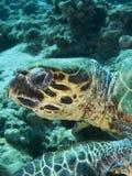 Χελώνα Hawksbill στοκ φωτογραφίες με δικαίωμα ελεύθερης χρήσης