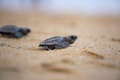 χελώνα ridley ελιών Στοκ φωτογραφία με δικαίωμα ελεύθερης χρήσης