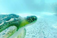 Χελώνα Superfamily θάλασσας στοκ εικόνα με δικαίωμα ελεύθερης χρήσης