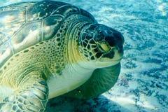 Χελώνα Superfamily θάλασσας στοκ φωτογραφία με δικαίωμα ελεύθερης χρήσης