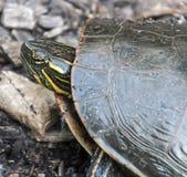 Χελώνα Woodlake Στοκ Φωτογραφία