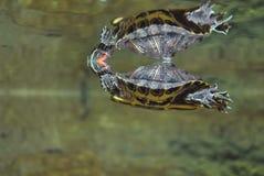 Χελώνες αντανάκλασης Στοκ εικόνα με δικαίωμα ελεύθερης χρήσης