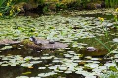 Χελώνες και πάπια Στοκ Εικόνα