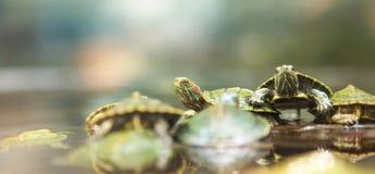 Χελώνες μωρών στοκ φωτογραφία