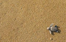 Χελώνες μωρών Στοκ Εικόνες