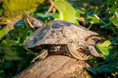 Χελώνες που κάθονται σε μια σύνδεση έναν υγρότοπο στοκ εικόνα με δικαίωμα ελεύθερης χρήσης