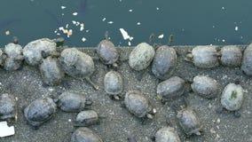 Χελώνες που τρώνε και που στηρίζονται δίπλα στη λίμνη koi απόθεμα βίντεο