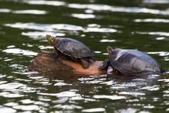 Χελώνες σε ένα κούτσουρο Στοκ φωτογραφίες με δικαίωμα ελεύθερης χρήσης
