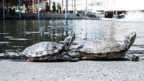 Χελώνες σε μια λίμνη Στοκ φωτογραφία με δικαίωμα ελεύθερης χρήσης