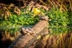 Χελώνες σε μια σύνδεση ένας υγρότοπος στο ηλιοβασίλεμα στοκ φωτογραφίες