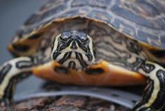 Χελώνες στην κινηματογράφηση σε πρώτο πλάνο Στοκ Φωτογραφίες