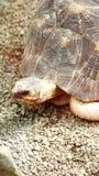 χελώνες Στοκ Εικόνα